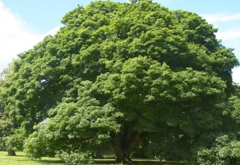 Acer Pseudoplantanus