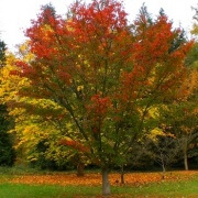 Acer capillipes – autumn