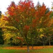 Acer capillipes – autumn
