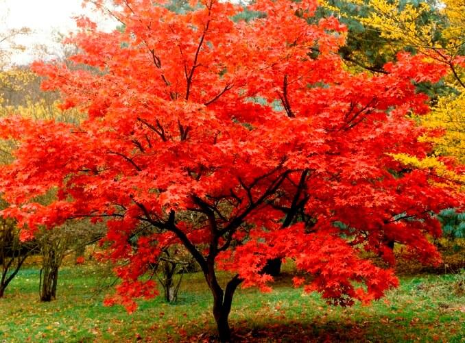 red japanese maple acer palmatum atropurpureum. Black Bedroom Furniture Sets. Home Design Ideas