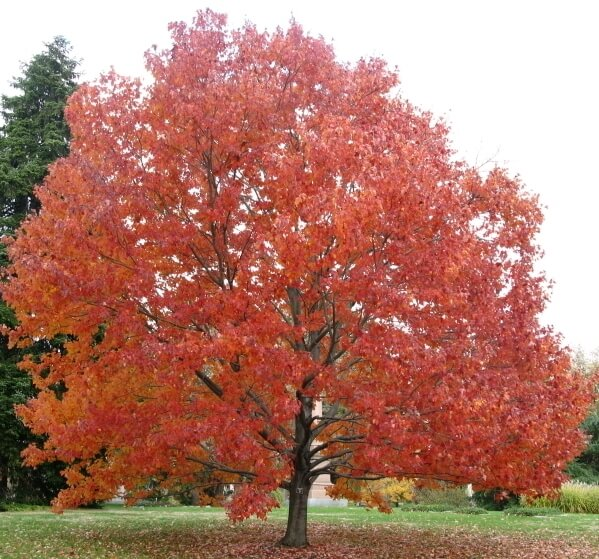 Acer rubrum - Red Canadian Maple