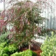 Willow Myrtle burgundy