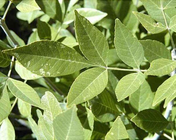Arizona-Ash-Fraxinus-Velutina