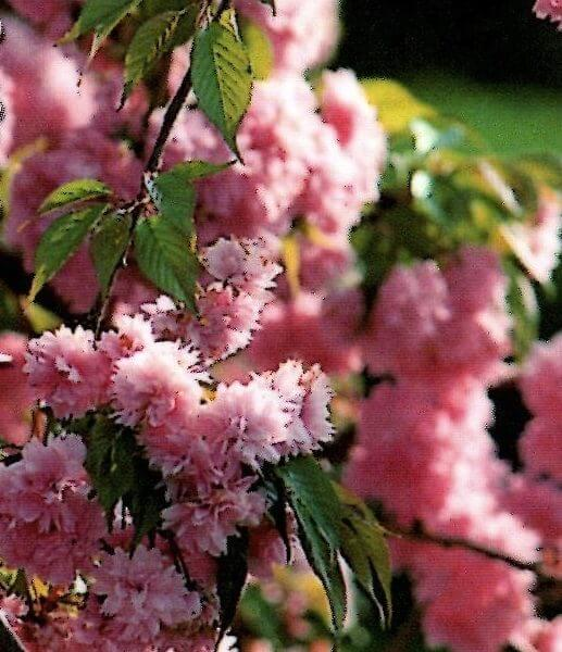 Cheals-weeping-cherry