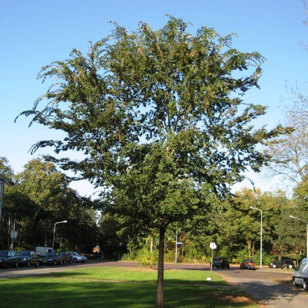 Chinese-Elm-Ulmus_parvifolia