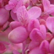 Chinese Redbud Flowers
