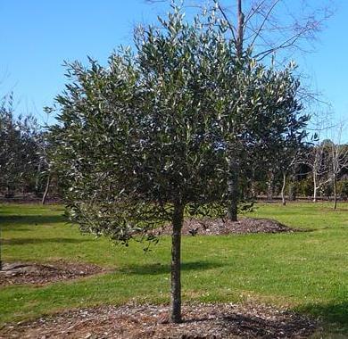 Correggiolo Olive Tree