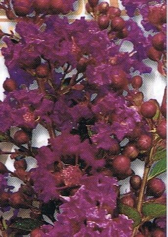 Crepe-Myrtle-zuni-photo