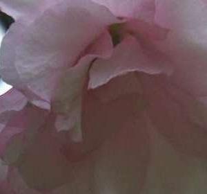 Daves Delight flower