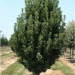 English-Oak