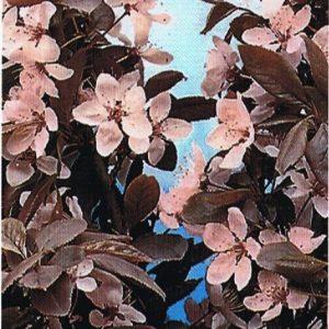 FLOWERING-PLUM-NIGRA-Prunus-cerasifera