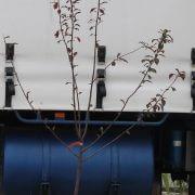 FLOWERING-PLUMprunis-Whrightii