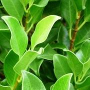 Hills fig foliage
