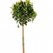 Ficus Flash Tree