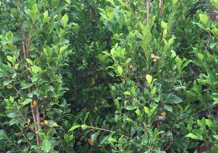 Ficus Hillii Flash