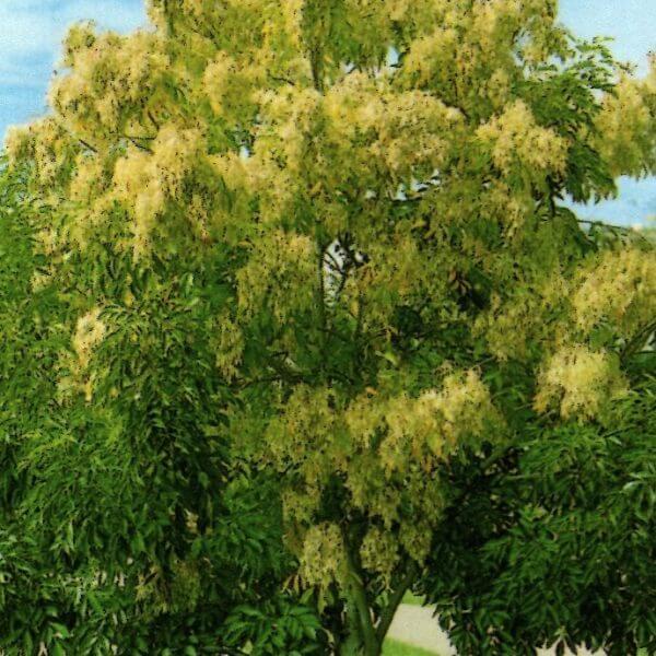 Flowering-Ash-griffithii