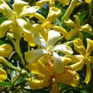 Native Frangipani