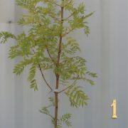 GOLDEN-ASH-TREE