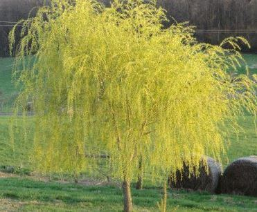 Golden Upright Willow