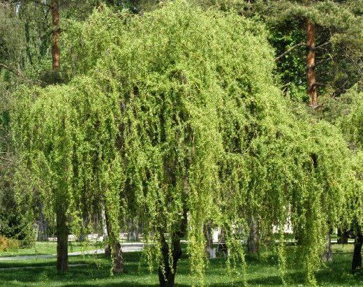 Green Corkscrew Willow