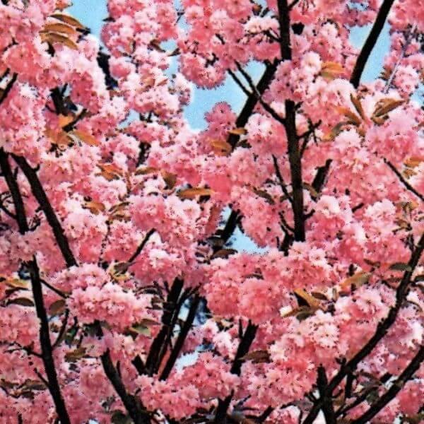 Kanzan-flowering-cherry