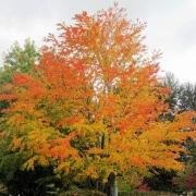 Katsura in autumn