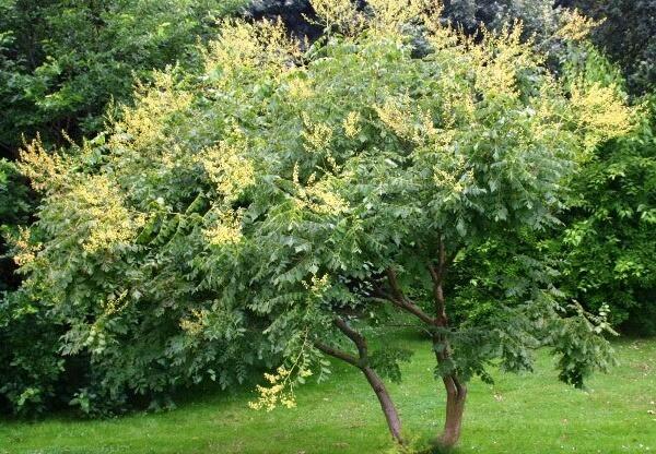 Koelreuteria paniculata