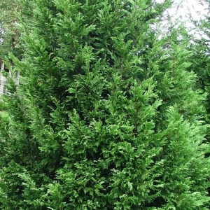 Leylandii Leighton Green