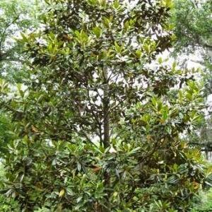 Magnolia Emerald Spire