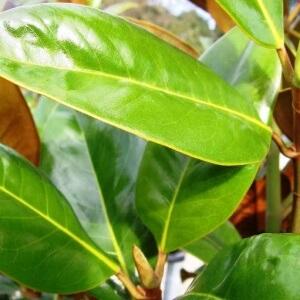 Magnolia Exmouth foliage
