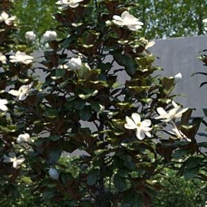 Product Categories Magnolia Tree