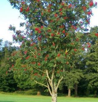 Mountain Ash tree