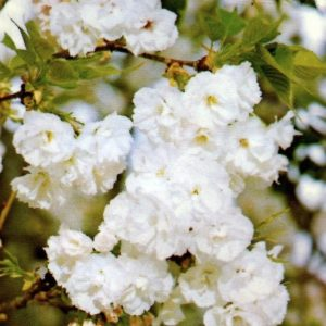 Mt-Fuji-Flowering-cherry