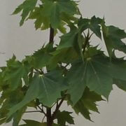 NORWAY-MAPLE-leaves1