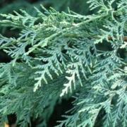 Naylor's Blue foliage