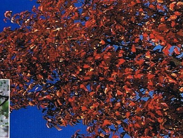 PYRUS-CALLERYANA-Red-Spire-Ornamental-Pear-copy