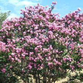 Pale Pink Biloxi