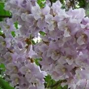 Paulownia Tomentosa flower
