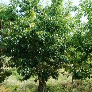 Poplar Yunnan
