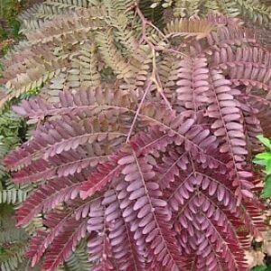 RUBYLACE-Gleditsia-Triancanthos-tree-LEAVES