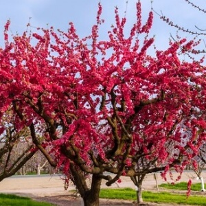 Red Flowering Weeping Peach