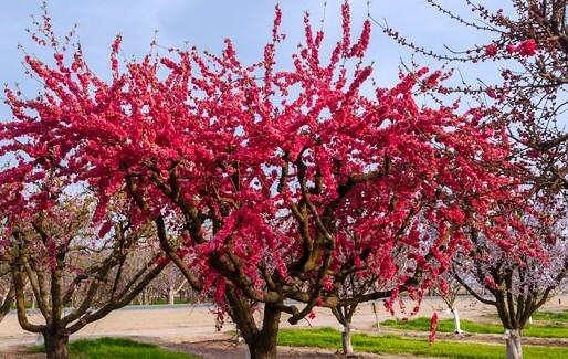 Red Flowering Weeping Peach