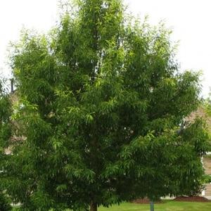 Sawtooth Oak