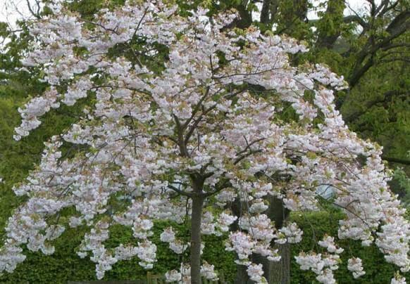 Shimidsu Sakura
