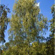 Silver-birch-2