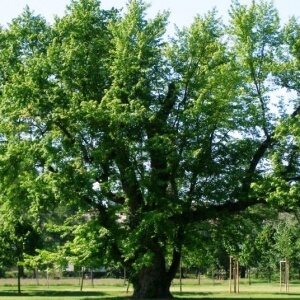 Silver maple tree