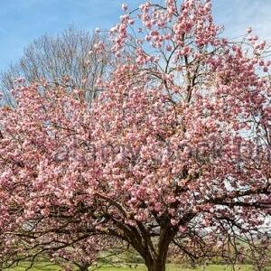 Spring Bouquet Flowering Cherry