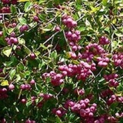 Syzygium Bush Cherry
