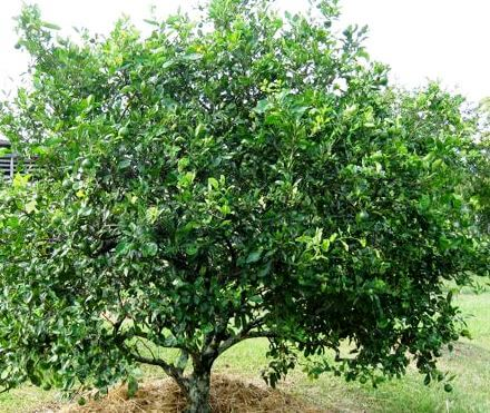 Tahitian lime tree