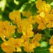 Tipuana tipu  flowers
